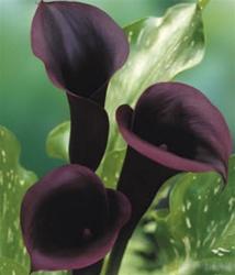 Online Wholesale Bulk Discount Mini Calla Lily Black