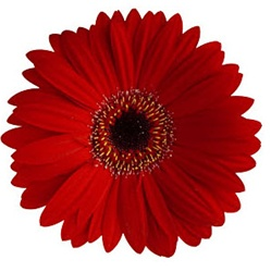 Orange Gerber Daisy Bouquet
