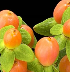 Hypericum Berry Orange Online Wholesale Bulk Discount