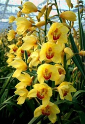 Online wholesale bulk discount cut cymbidium orchid yellow for Orchidea foglie gialle