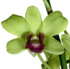 Online Wholesale Bulk Discount Cut Dendrobium Orchid Green