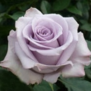 Song Rose