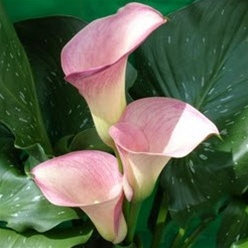Online Wholesale Bulk Discount Mini Calla Lily Pink Light