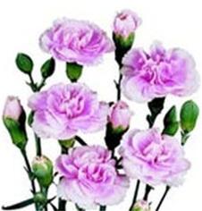 Carnation Mini Spray Lavender