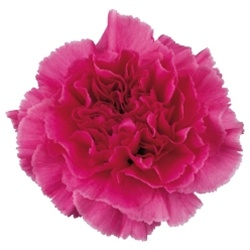 Carnation Flowers Are A Popular Flower With A Ruffled Ball Shaped Bloom They Are Known For