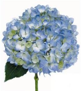 Online wholesale bulk cut blue hydrangea hydrangea premium blue mightylinksfo